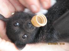 Black Flying-fox enjoys his dummy
